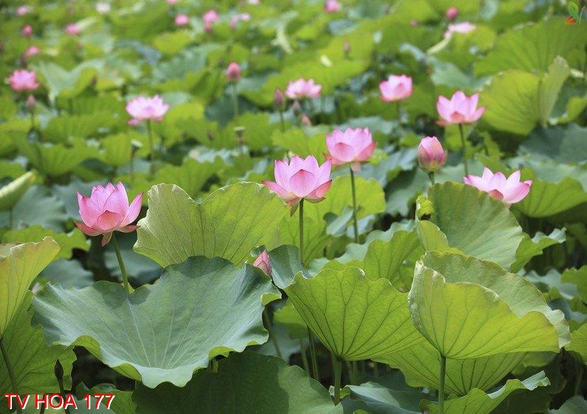 Tranh về hoa 177