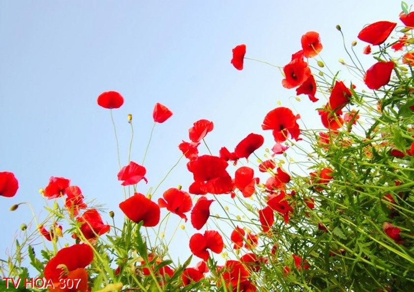 Tranh về hoa 307
