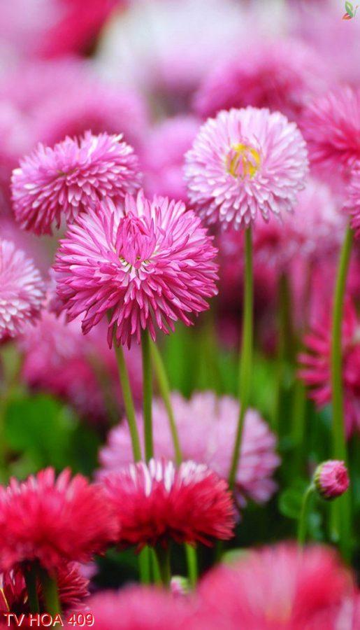 Tranh về hoa 409
