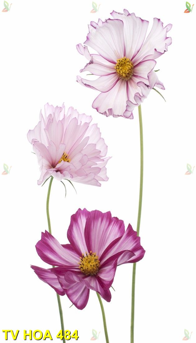 Tranh về hoa TV Hoa 484