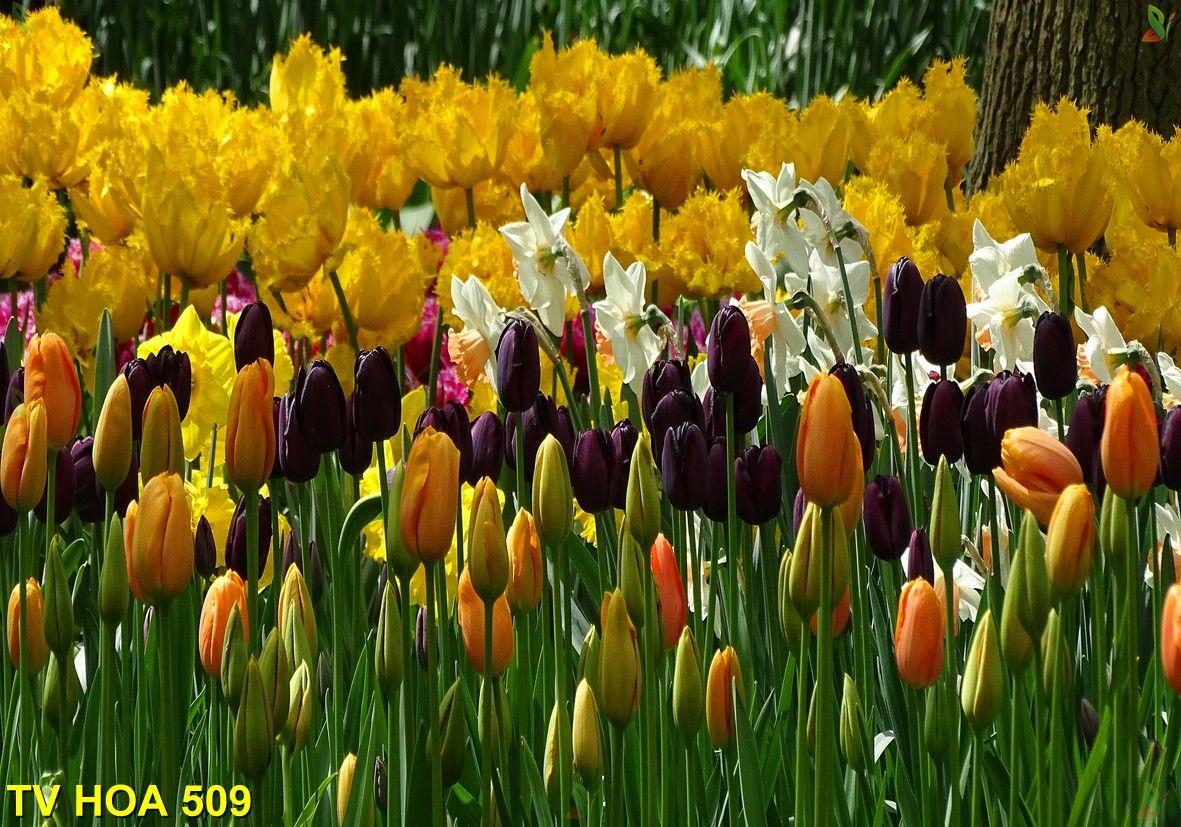 Tranh về hoa TV Hoa 509
