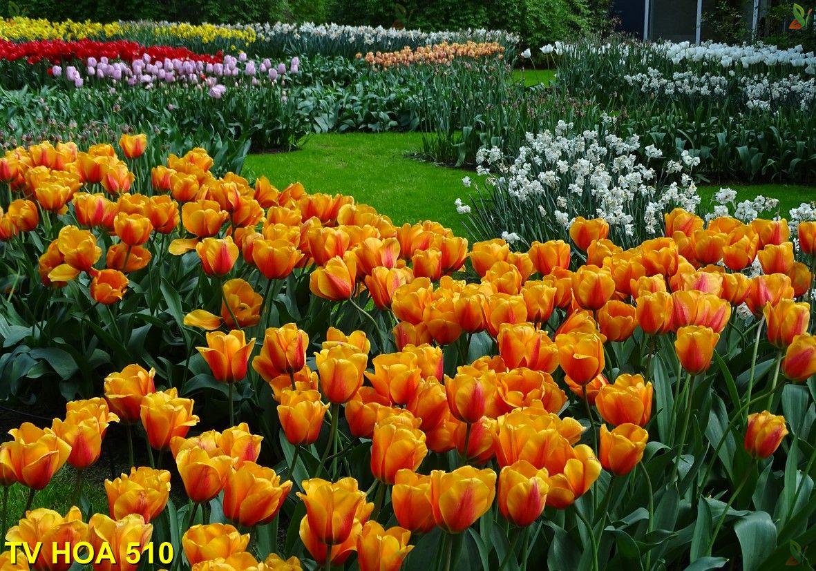 Tranh về hoa TV Hoa 510
