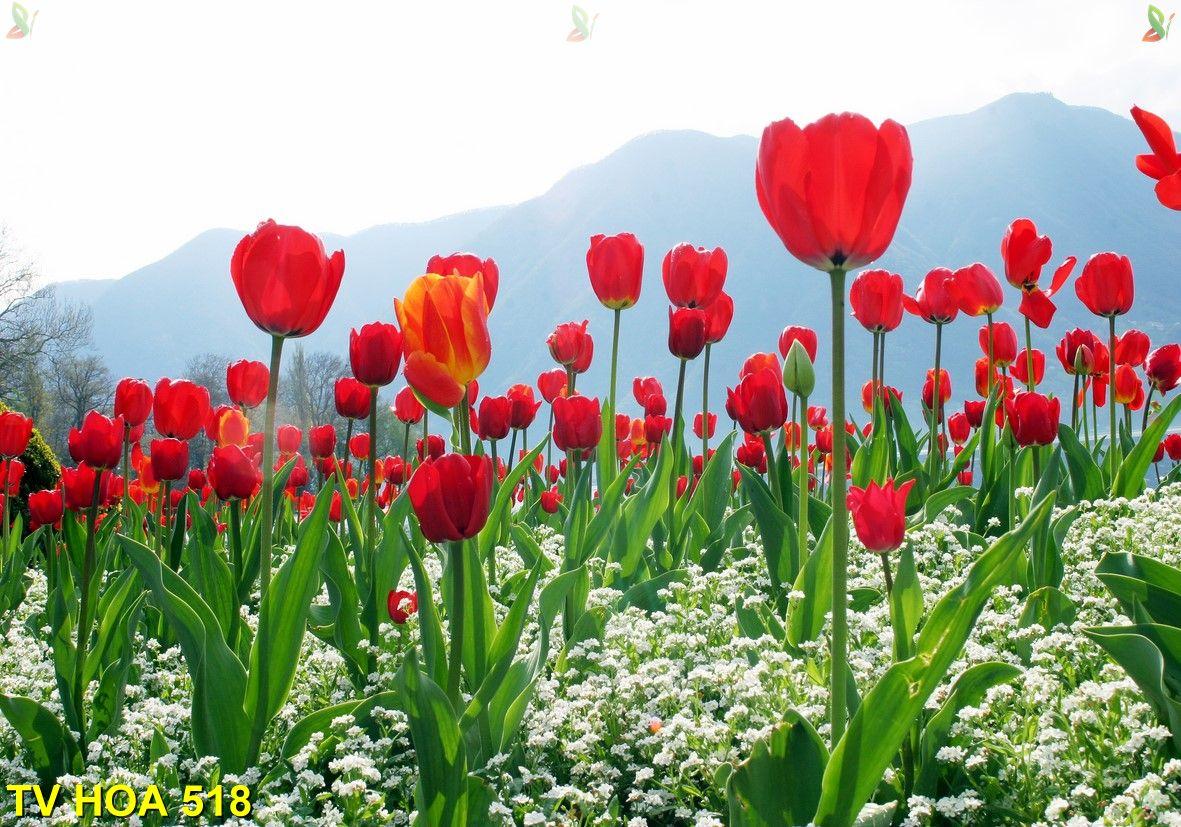 Tranh về hoa TV Hoa 518