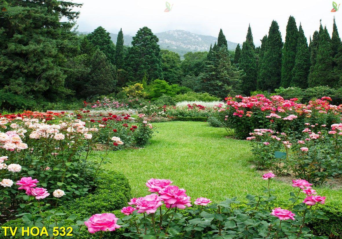 Tranh về hoa TV Hoa 532