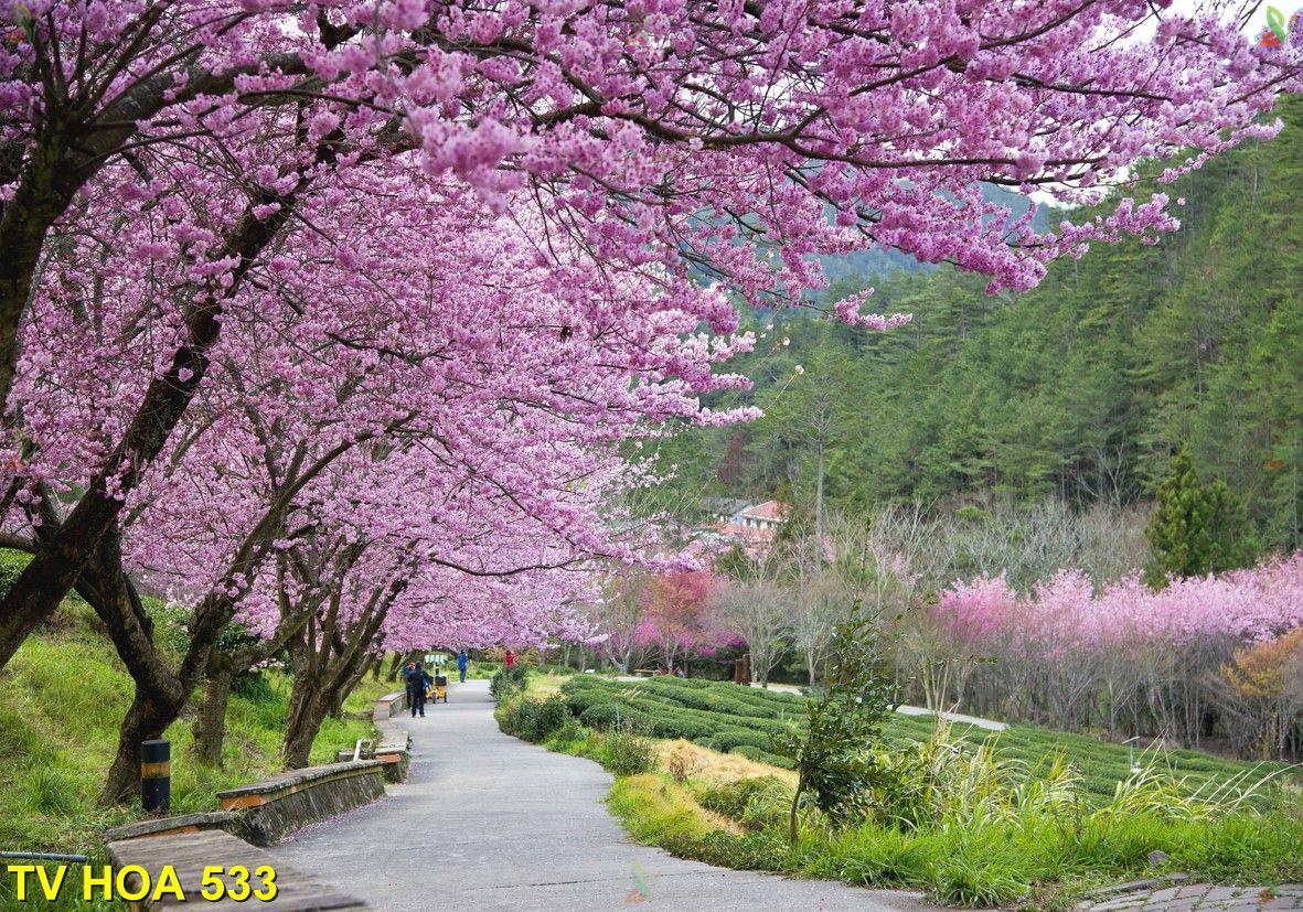 Tranh về hoa TV Hoa 533